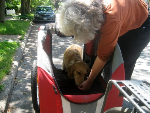 Honey the Golden Retriever is coaxed into her DoggyRide bike trailer.