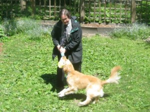 Honey the Golden Retriever is a dog who plays tug with a man.