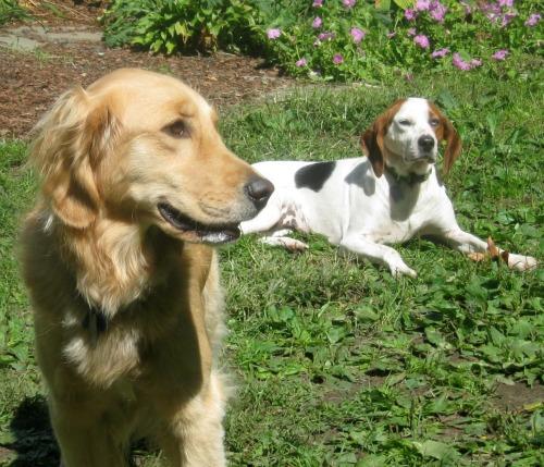 Honey the Golden Retriever poses with hound mix Cherie,