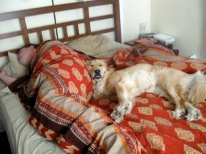 Honey the Golden Retriever sleeps with a human butt bolster on the bed.