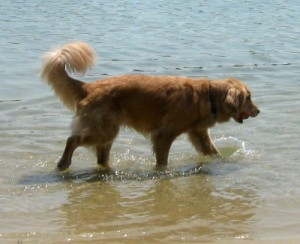 Honey the Golden Retriever fetches her ball in Flax Pond.