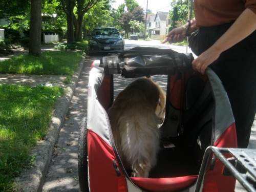 Honey the Golden Retriever hops out of the DoggyRide bike trailer.