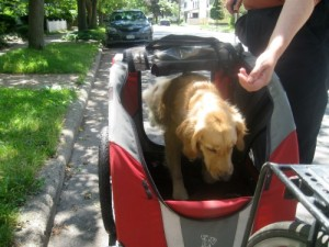 Honey the Golden Retriever jumps into her DoggyRide bike trailer.