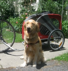 Honey the Golden Retriever poses in front of her Doggy Ride bike trailer.