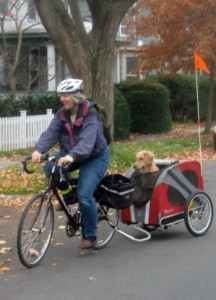 Honey the Golden Retriever rides in her bike trailer.