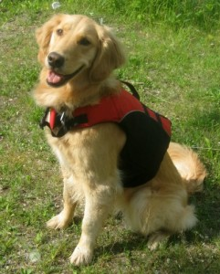 Honey the Golden Retriever sits in her life jacket.