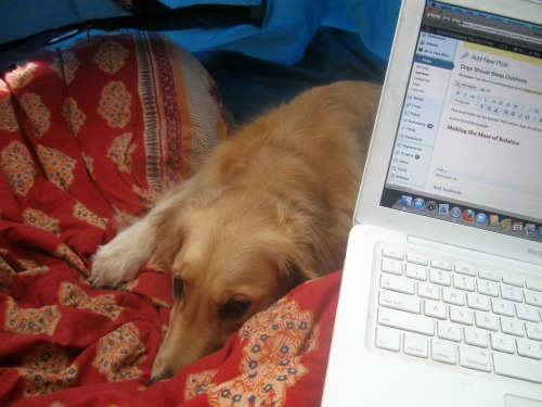Honey the Golden Retriever sleeps in the tent by the laptop.