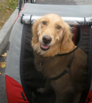 Honey the Golden Retriever smiles in her Doggy Ride bike trailer.