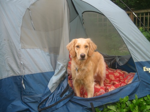 Honey the Golden Retriever looks out the door of the tent.