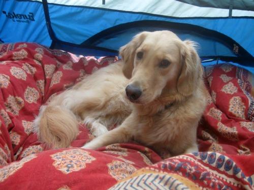 Honey the Golden Retriever sleeps in a tent.