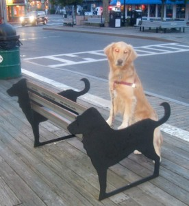Honey the Golden Retriever poses on a dog bench at Provincetown, MA..