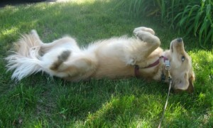 Honey the Golden Retriever rolls on the grass.