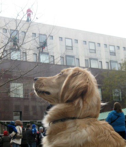 Honey the Golden Retriever watches Santa rappel down the side of a building.