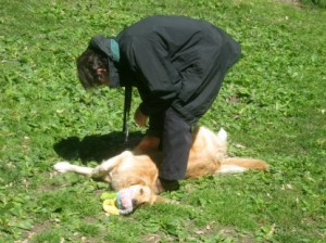 Honey the Golden Retriever is a dog who likes playing tug.