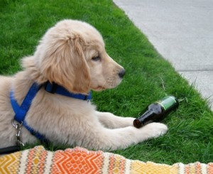 Honey the Golden Retriever puppy lies down with a root beer bottle for company.