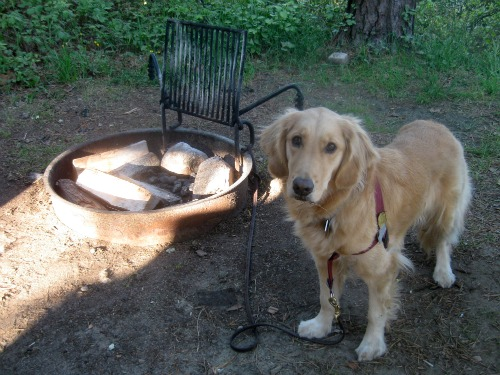 Honey the golden retriever is sad when camping.
