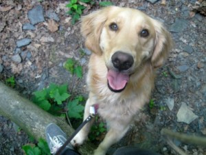 Honey the Golden Retriever smiles while standing on a tree trunk.