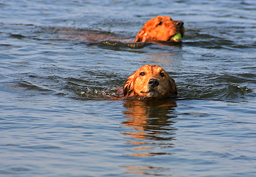 Two Golden Retrievers are swimming.