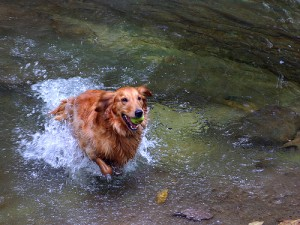 This Golden Retriever is bringing his ball back from the water.