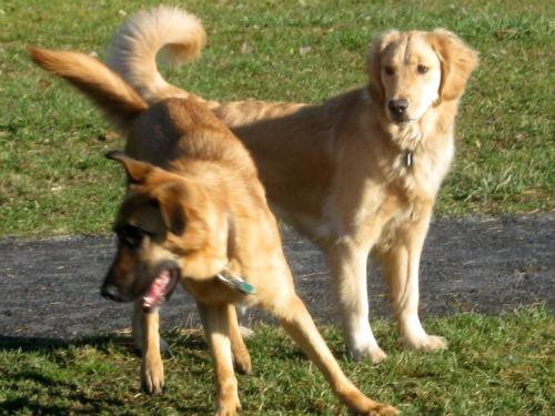 Honey the Golden Retriever looks over a dog park friend.