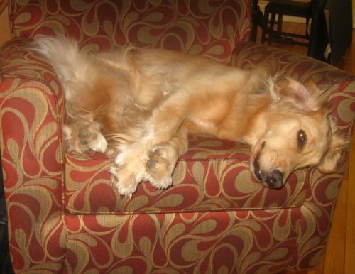 Honey the Golden Retriever finds dozing on a chair positive reinforcement.