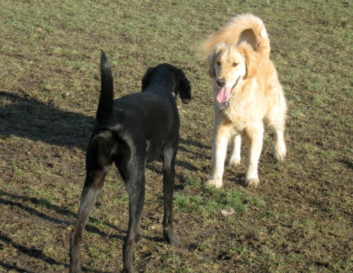 Honey the Golden Retriever is in a stand-off at the dog park.