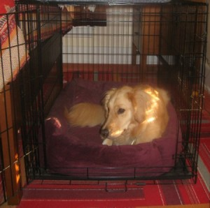 Honey the Golden Retriever rests in her dog crate.