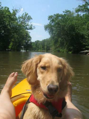 Honey the Golden Retriever sits in a kayak smelling toes.