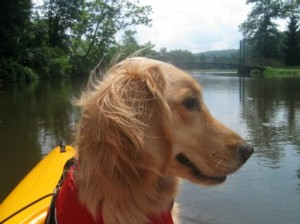 Honey the Golden Retriever gets a kayak ride.