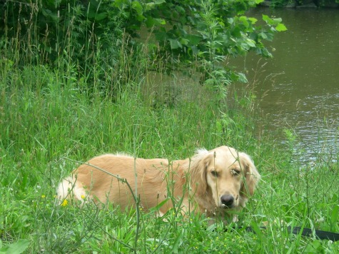 Honey the Golden Retriever lies in the grass near Fall Creek.