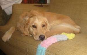 Honey the Golden Retriever naps on the couch.