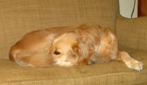 Honey the Golden Retriever lies on the couch.