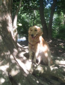 Honey the Golden Retriever poses on some tree roots.