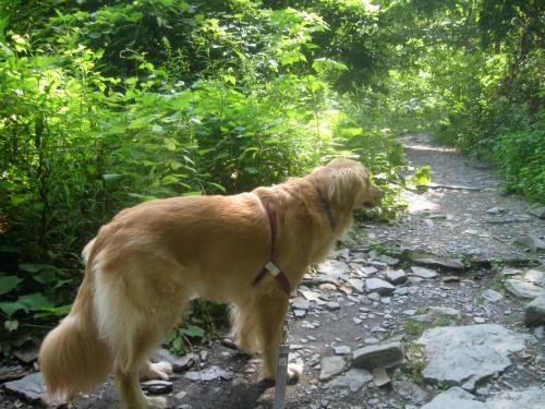 Honey the Golden Retriever takes a nature walk.