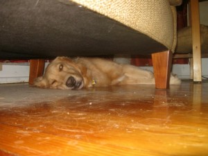 Honey the Golden Retriever lies under the couch to stay cool.