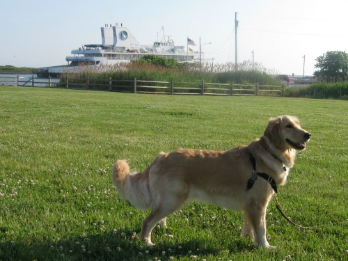 Honey the Golden Retriever waits for the Cape May Ferry to take her on an adventure.