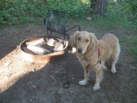 Honey the Golden Retriever stands next to a fire pit.