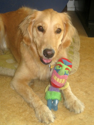 Honey the Golden Retriever likes her Tiki chewy toy.