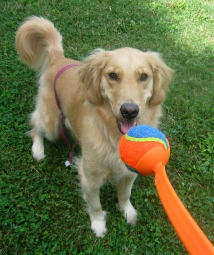 Honey the Golden Retriever worships her ball.