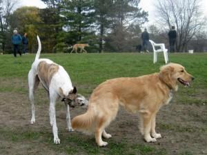 A needle nose Greyhound greets Honey the Golden Retriever at the dog park.