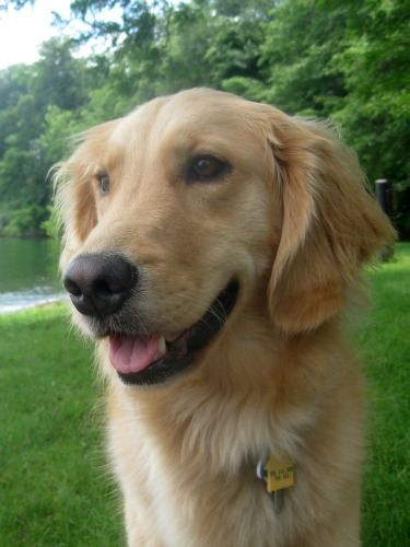 Honey the Golden Retriever is very pretty.