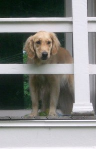Honey the Golden Retriever is said I'm leaving her with a pet sitter when I go to Panama.