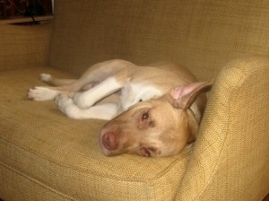 Titus is a pitbull mix foster dog lying on the couch.