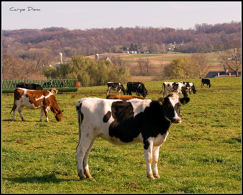 These cows are on a Lancaster county dairy farm.