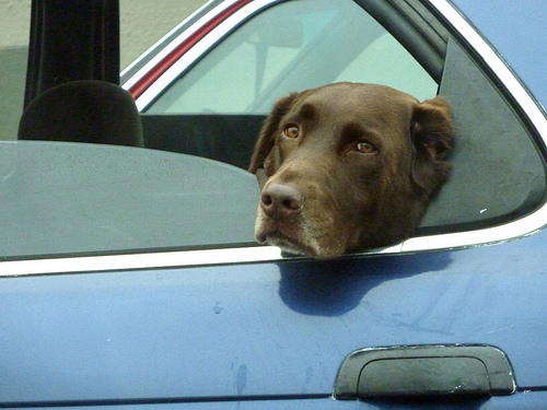 A brown lab looks sad at being left in the car.