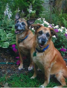 My dogs, Agatha and Christie, post in the garden.