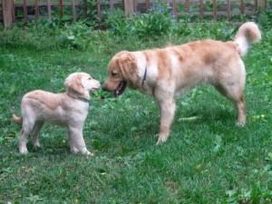 Honey the Golden Retriever puppy meets Riley.