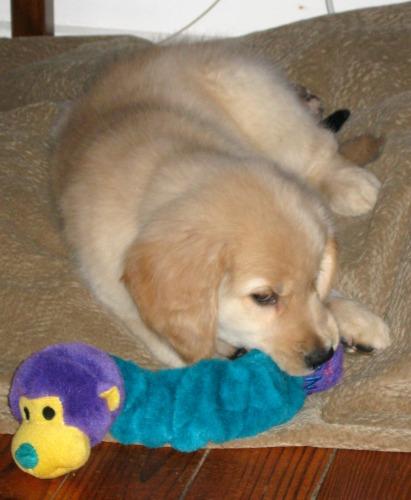 Honey the Golden Retriever is a puppy, not a child.