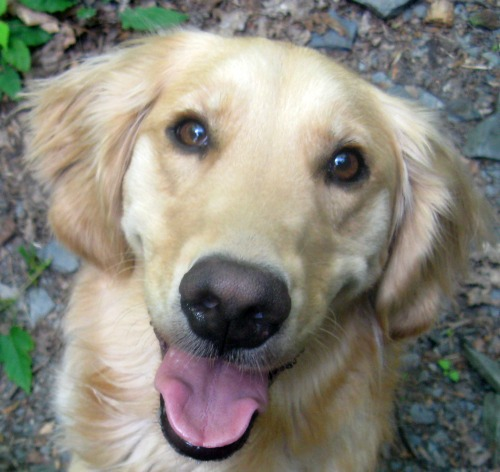 Honey the Golden Retriever smiles.