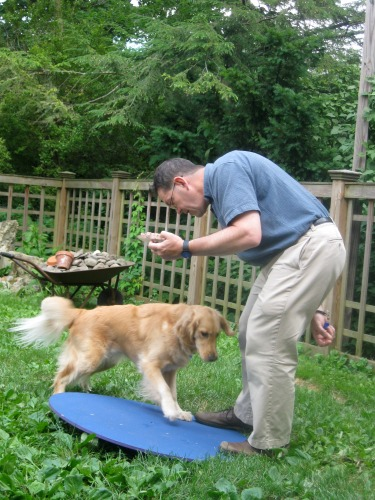 Honey the Golden Retriever considers the wobble board.